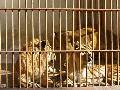 Family of lions in cage