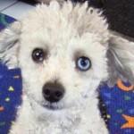 This sheep-like dog has a distinctive Heterochromia
