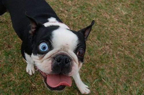 Dog's Heterochromia