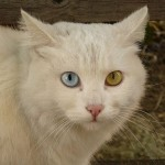 Blue and green eyes of a cat