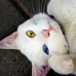 Beautiful white cat with blue and green eyes