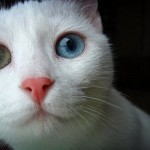 Heterochromia in Animal World