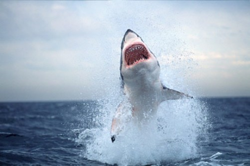 For many centuries people used shark teeth as weapons and tools