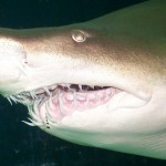 The largest shark teeth found belonged to a Carcharodon Magaloden shark and are 6 inches long