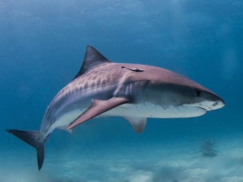 On some islands, villagers believed that sharks were spirits of their ancestors