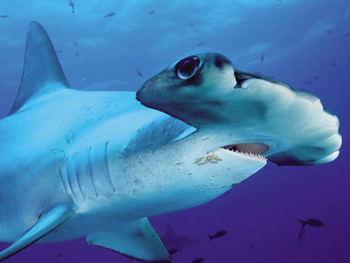Eating Shark flesh is forbidden in both the Solomon and Fiji islands