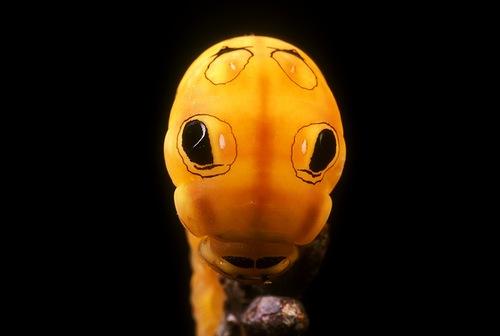 Amazing yellow caterpillar