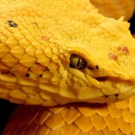Big Yellow snake