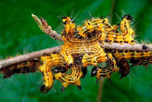 Hairy caterpillar of yellow color