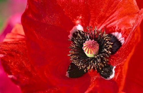 Red poppy. Bill Atkinson