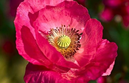 Wild rose petals, photographer Bill Atkinson