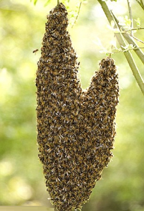 A swarm of bees hang from a tree