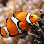Clown fish and their ability to change sex