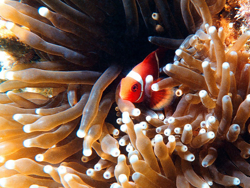 Ocellaris clownfish, Amphiprion ocellaris
