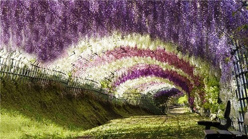 Japanese garden of flowers beautiful Kawachi Fuji Garden
