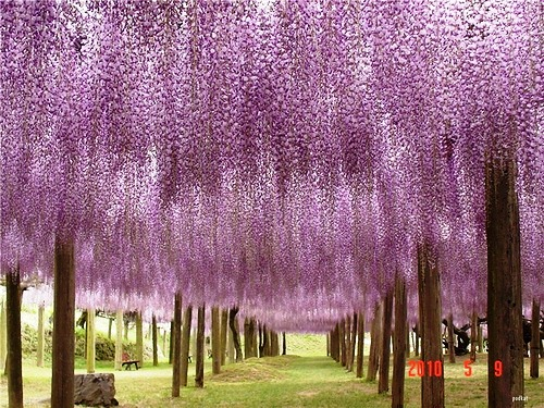 Japanese garden of flowers-beautiful Kawachi Fuji Garden
