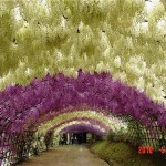 Fabulous Japanese garden of flowers Kawachi Fuji