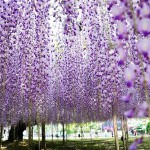 Beautiful garden of flowers Kawachi Fuji