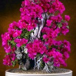 Evergreen vine Beautiful Bougainvillea