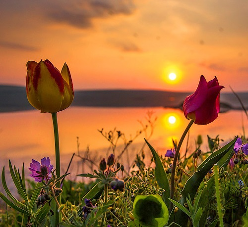 Blooming wild tulips in Crimea. Photographer Sergei Anashkevich