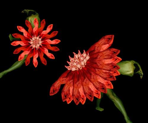 Cecelia Webber's red flowers