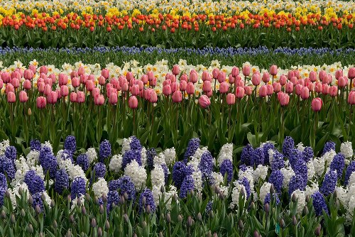 Dutch Keukenhof flower garden is the largest place in the world for growing flowers