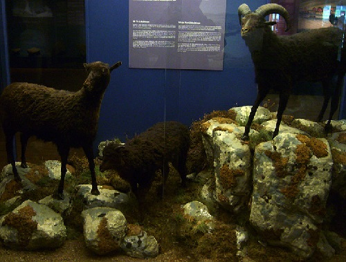 Museum specimens of the extinct feral sheep of Lítla Dímun