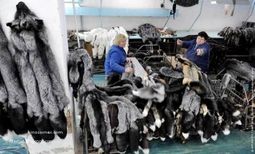 Cruelty to animals for Fashion. On this farm in Belarus each year 80,000 minks and foxes 2000 are killed