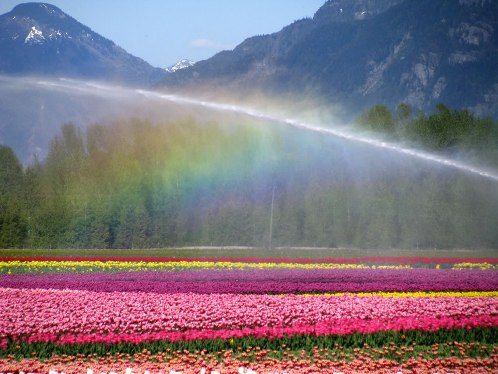Rainbow over the Tulip fields in British Columbia