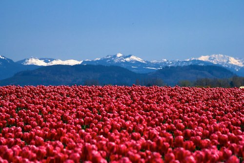 Scarlet sea of tulips
