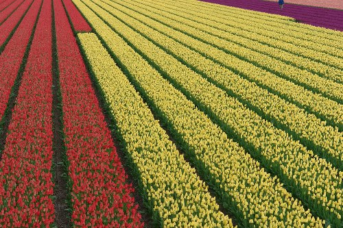 Tulip Fields all over the world