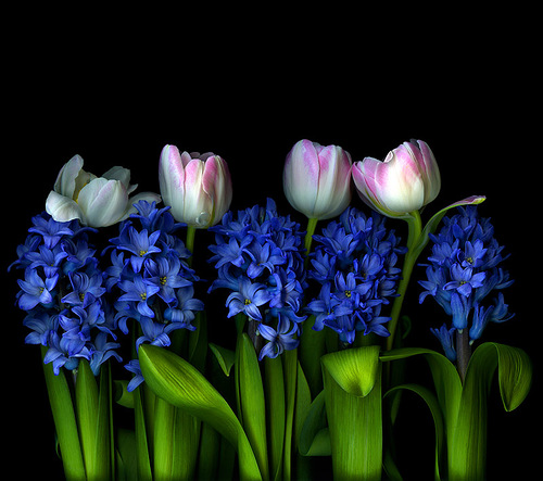 Tulips and delphinium, photographer Magda Indigo
