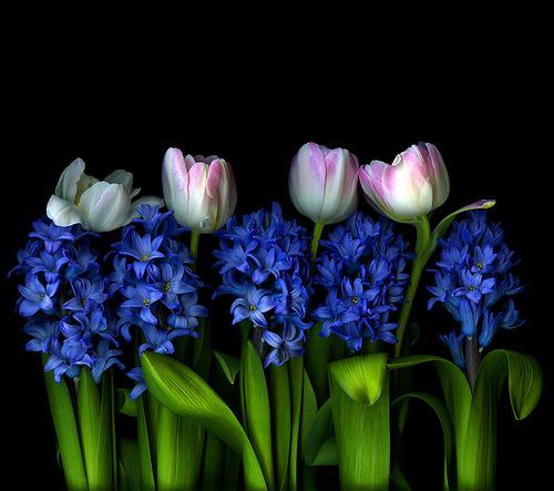 Tulips and delphinium, photographer Magda Indigo