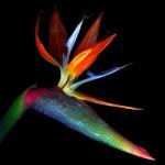 Lily. Beautiful flowers by Belgian professional photographer Magda Indigo