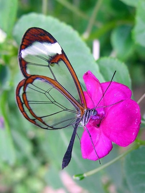 Glasswinged butterfly by genius sculptor Nature