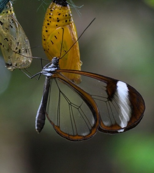 Glasswinged butterfly created by genius sculptor - Nature