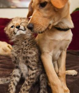 Cheetah cub Kasi has been friends with a Labrador puppy Mtani