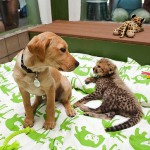 Amazing friendship between Cheetah cub Kasi and a Labrador puppy Mtani