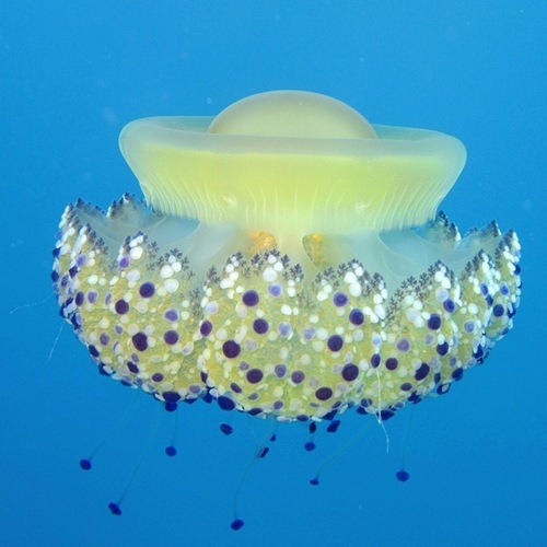 Beautiful and dangerous jellyfish