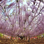 A vibrant wisteria plant has been trained with careful pruning over numerous years to grow upright into a tree at the Ashikaga Flower park in Japan