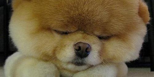 Boo The Cutest Dog In World