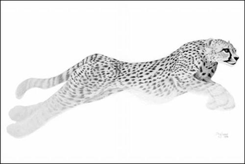Cheetah. Doug Landis Mouth Drawings