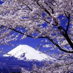 Beautiful cherry tree Sakura in blossom