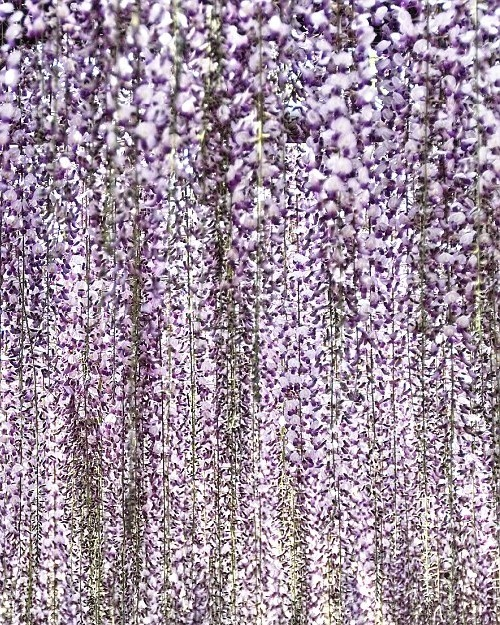 Wisterias are climbing plants related to the pea native to North America, China and Japan.