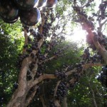 Amazing fruit-bearing tree Jabuticaba in Brazil