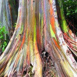 The Rainbow Eucalyptus evergreen natural wonder
