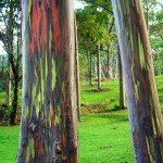 Eucalyptus deglupta - a beautiful huge evergreen tree, commonly known as Rainbow Eucalyptus, the Mindanao Gum, or the Rainbow Gum