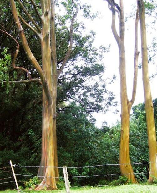 Eucalyptus deglupta - a beautiful huge evergreen tree, commonly known as Rainbow Eucalyptus, the Mindanao Gum, or the Rainbow Gum