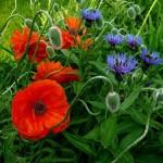 Cornflower in photography