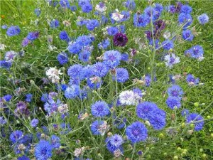 Cornflower in photography